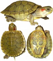 Trachemys scripta elegans (Элегантная красноухая) (Red-Ear Slider)