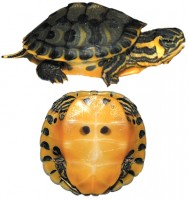 Trachemys scripta scripta (Yellow-bellied slider)